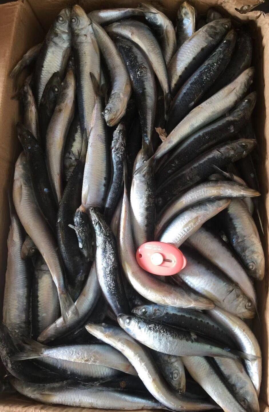 北太平洋沙丁鱼1